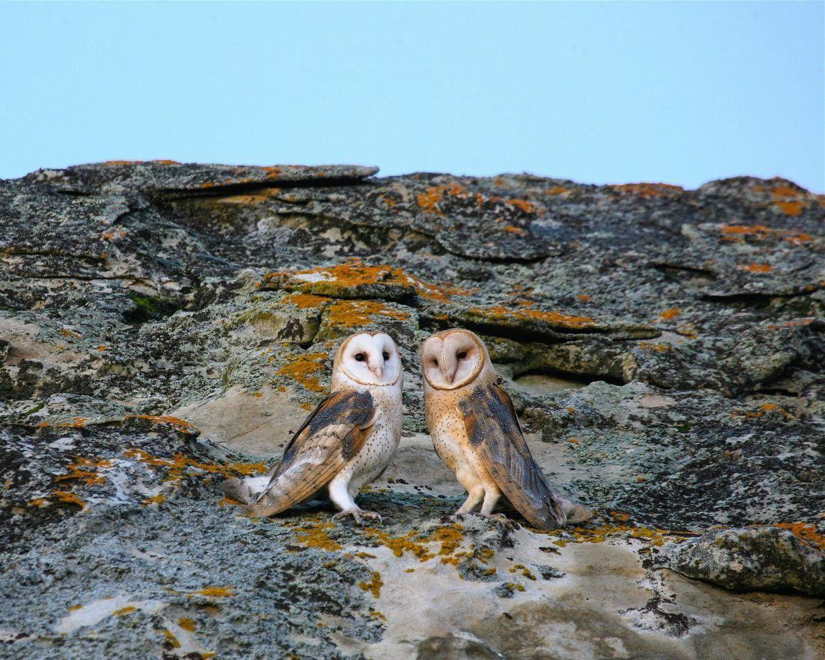 Ces deux chouettes effraies s'agrippent à un énorme rocher dans la Plaine de Carrizo, en Californie. ...