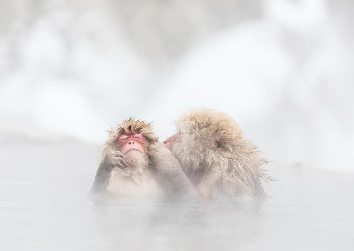 Pour échapper au froid hivernal, ces deux macaques japonais profitent des sources chaudes.