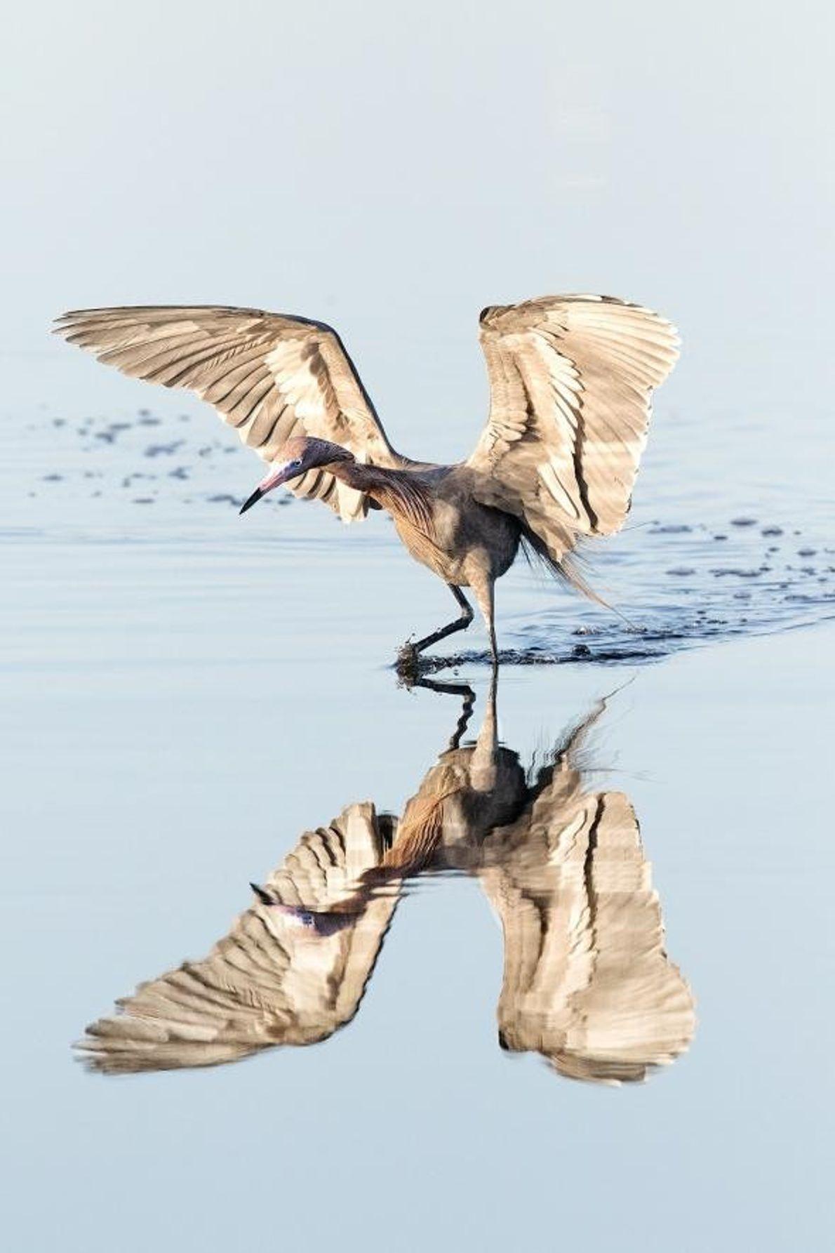 Une aigrette roussâtre se pose dans les marécages peu profonds au large de Merrit Island, en ...
