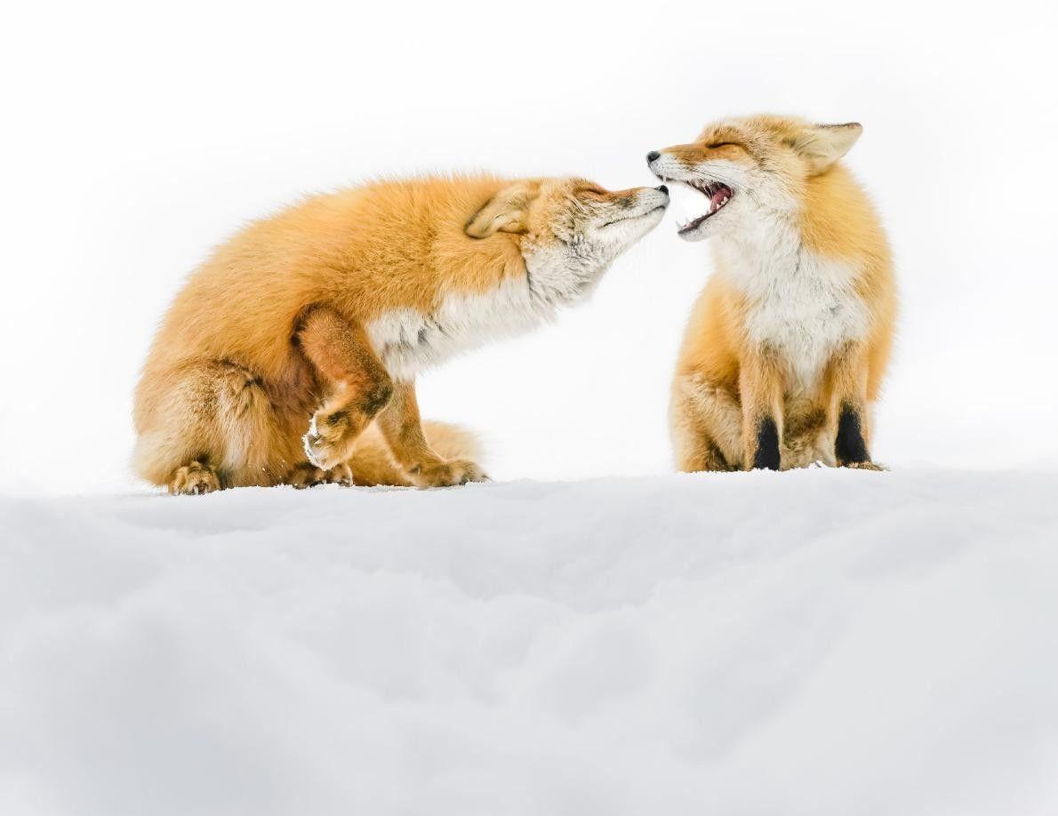 Ces deux renards se bagarrent gentillement sur une pente enneigée d'Hokkaidō, au Japon.