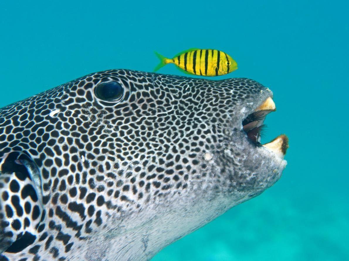 Alors qu'ils fouillent le fond marin à la recherche de nourriture, un poisson-pilote se fait éclipser ...