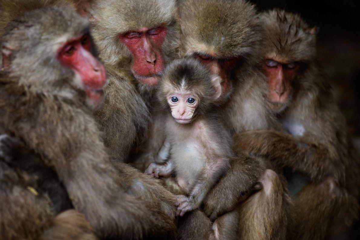 À Shōdoshima, au Japon, des macaques japonais se blottissent les uns contre les autres pour se ...