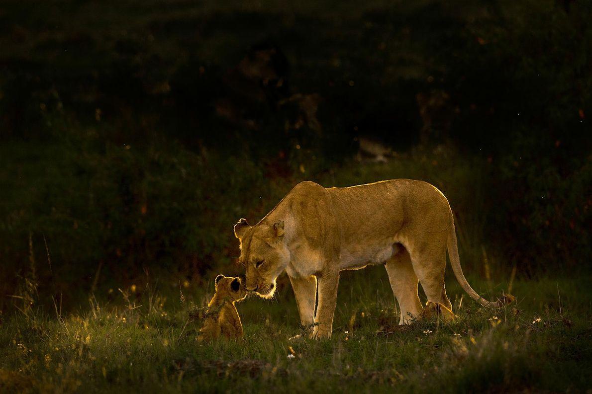 Une lionne et son petit partagent un moment de tendresse. « C'est vraiment très émouvant de ...