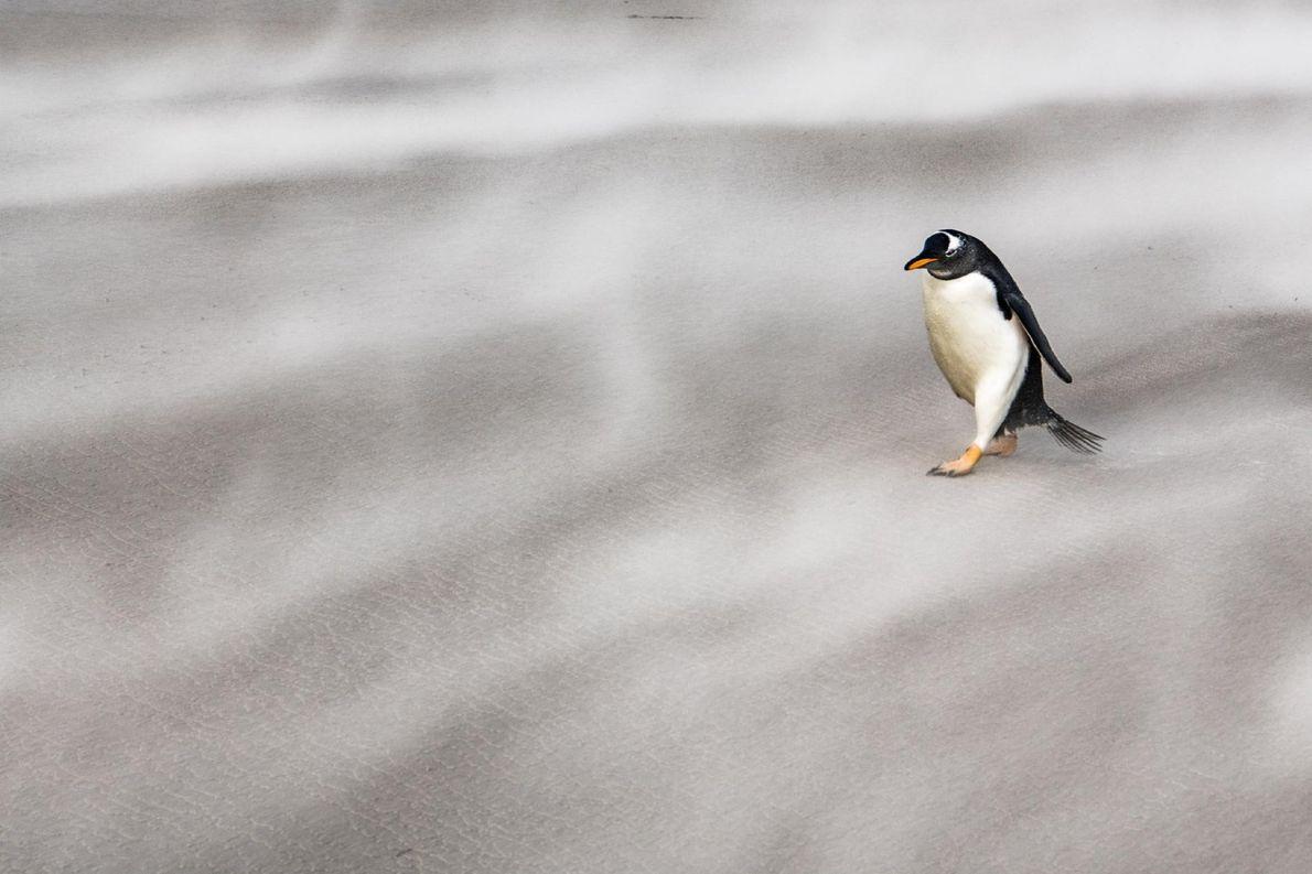 Un manchot papou solitaire affronte les vents violents de l'Antarctique.