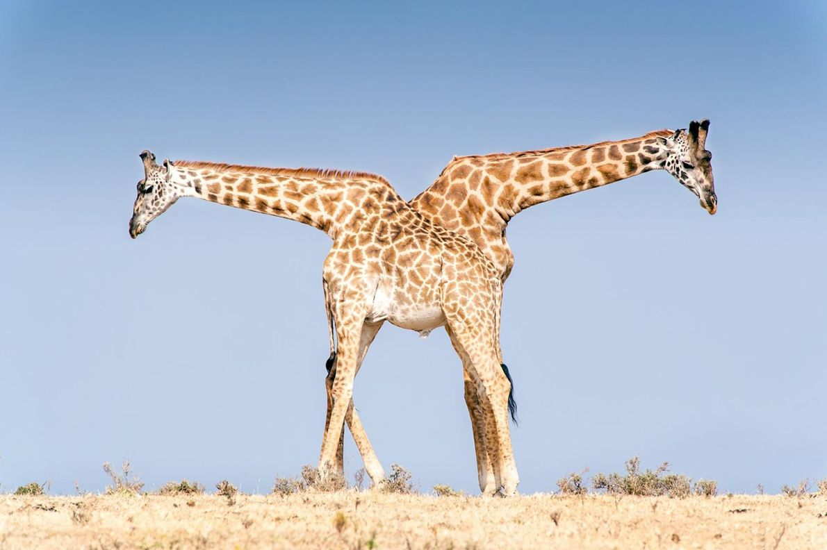 Ces deux girafes Masaï mâles se reposent dans l'aire de conservation du Ngorongoro en Tanzanie. Quelques ...