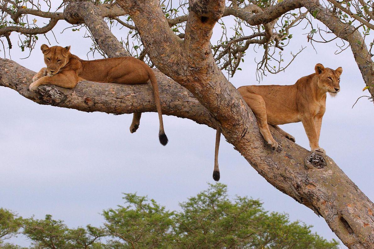 Les seuls grands félins que les amateurs de safaris sont susceptibles de voir escalader des arbres ...