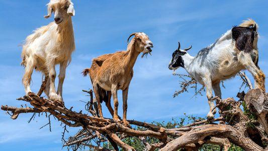 Au Maroc, ces chèvres qui peuplent les arganiers