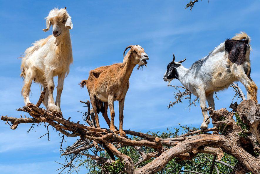 Trois chèvres, une blanche, une brune et une blanche et noire, ont escaladé un arganier et ...