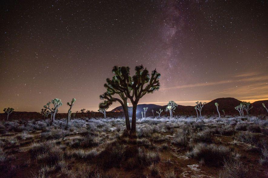 Emblématiques du parc national de Joshua Tree, les arbres de Josué pourraient perdre 90 % de ...
