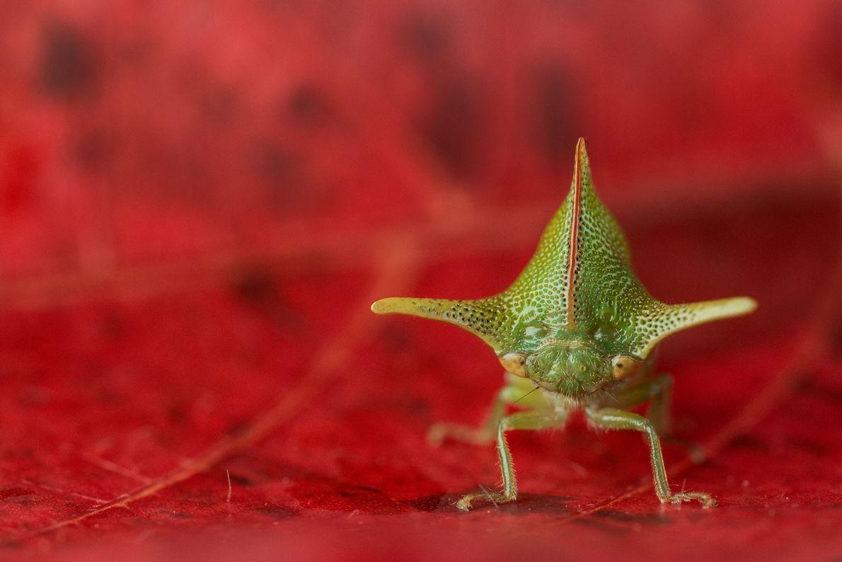 Avec les cornes de son casque, Alchisme grossa peut dissuader plus d'un prédateur. Cet individu s'est ...