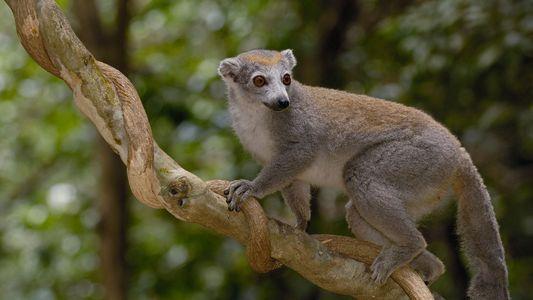 Partez à la découverte des lémuriens protégés de Madagascar