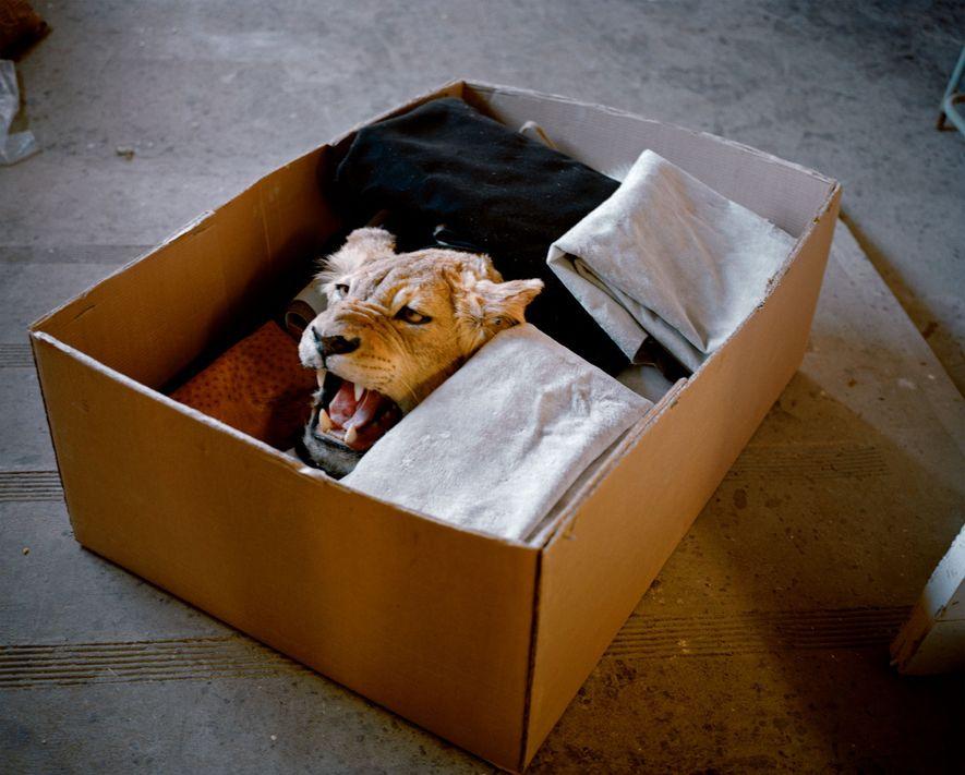 Une peau et une tête de lion, préparées par un taxidermiste sud-africain, sont prêtes à être ...