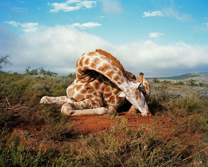Un chasseur a abattu cette girafe en 2010 sur le domaine d'Eastern Cape. Perte d'habitat et ...