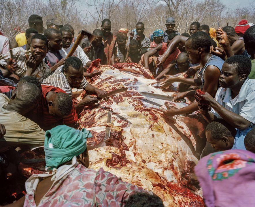 En 2009, au Zimbabwe, des villageois se partageaient la viande d'un éléphant tué par un chasseur ...