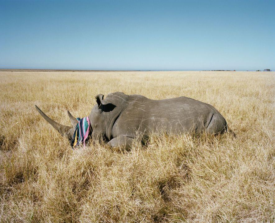 Un Texan a tiré ce rhinocéros en 2010 sur un domaine de chasse sud-africain… avec une ...
