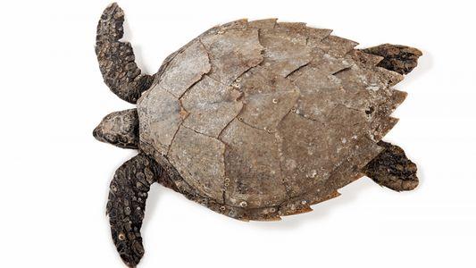 La radioactivité pour étudier les tortues