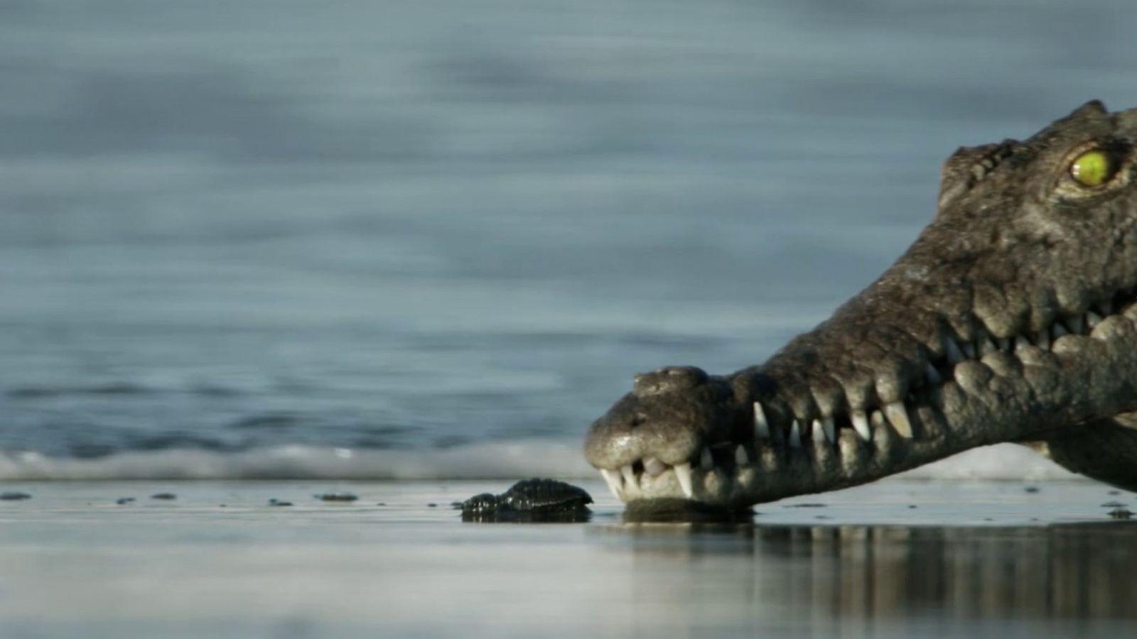 La survie des bébés tortues | Planète Hostile