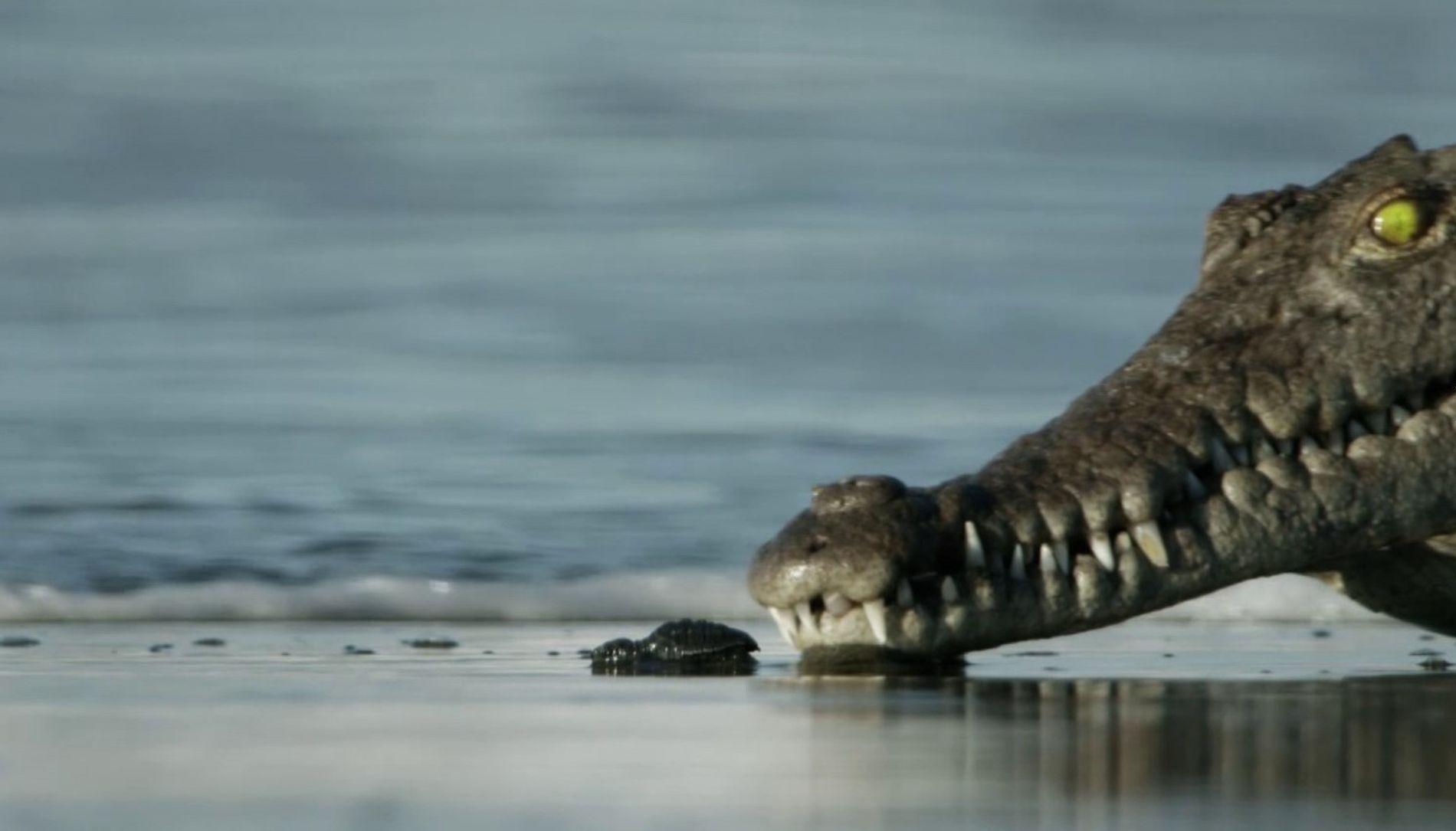 La survie des bébés tortues   Planète Hostile