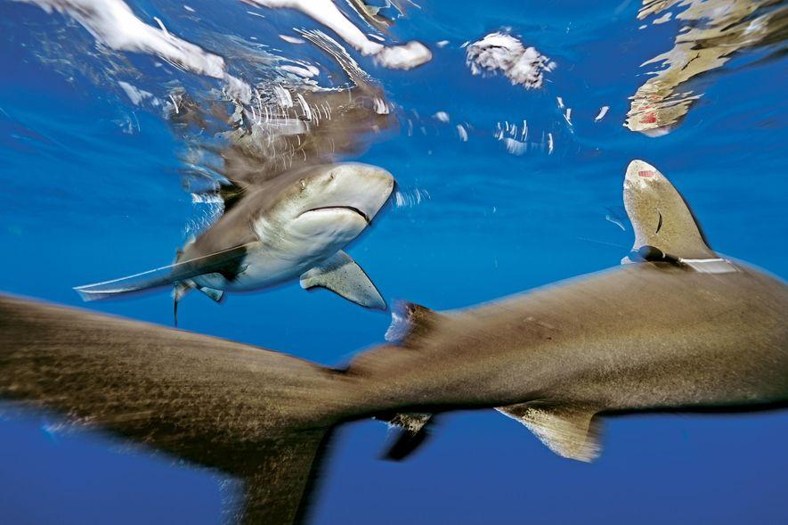 Un requin océanique est muni d'une balise satellite et d'une plaque d'identification nage au large de ...