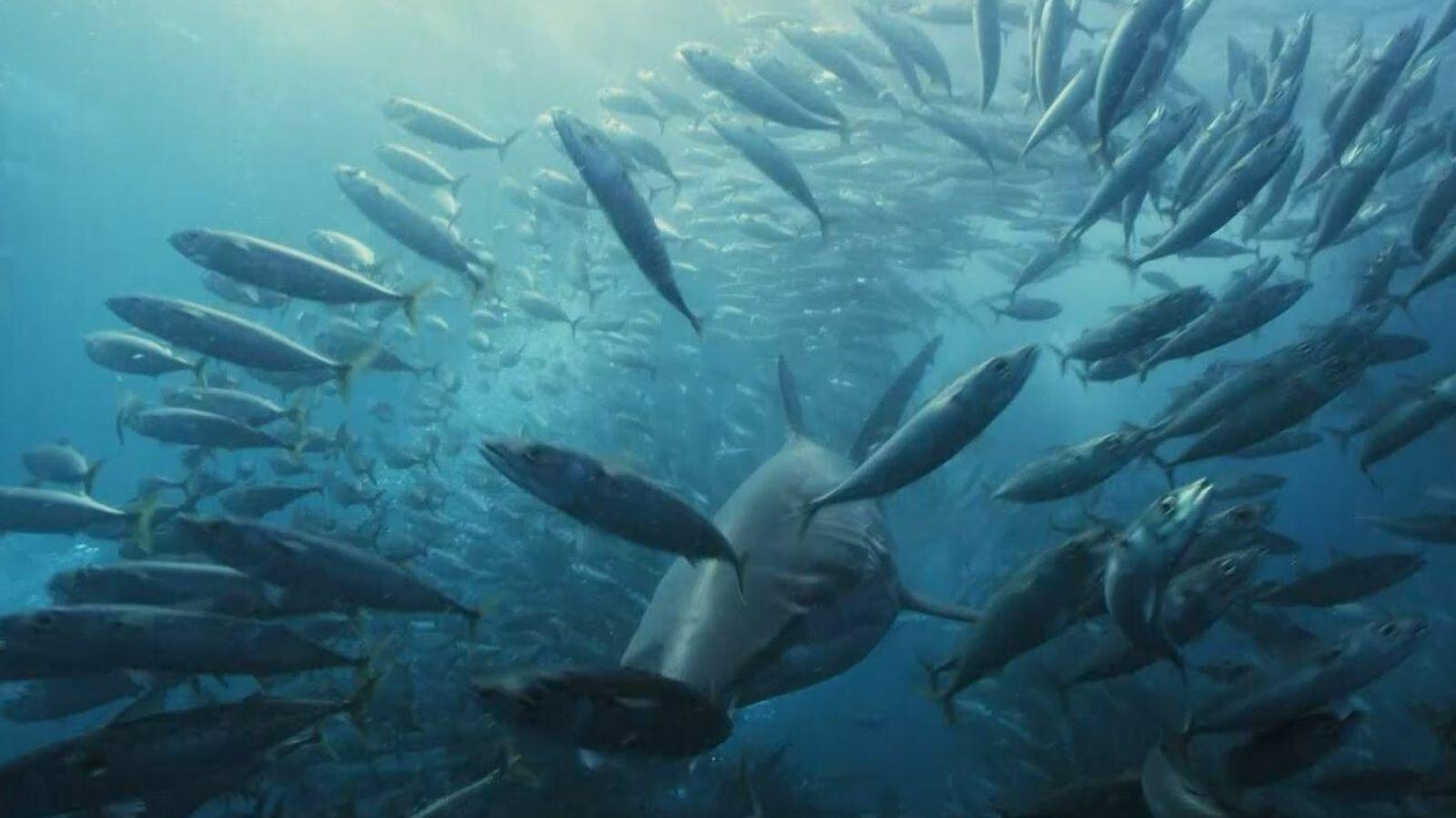 Banc de poissons et requin.