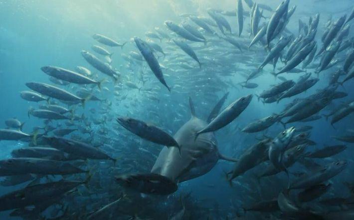 Un banc de poissons encerclé par les requins
