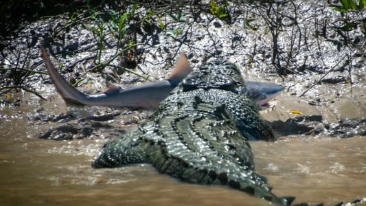 Un requin-bouledogue affronte un troupeau d'hippopotames