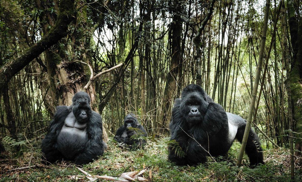 PARC NATIONAL DES VIRUNGA, RÉPUBLIQUE DÉMOCRATIQUE DU CONGO C'est au parc national des Virunga que se trouve ...