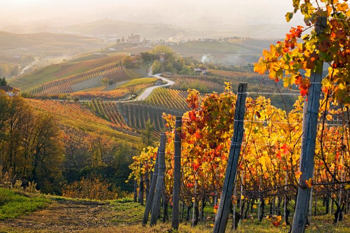 Les reflets pourpres et dorés des feuilles habillent les vignobles emblématiques du Piedmont, en Italie.