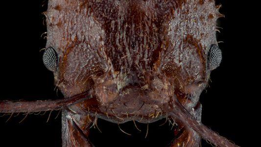 Découverte : les fourmis coupe-feuille sont dotées d'une « armure » minérale