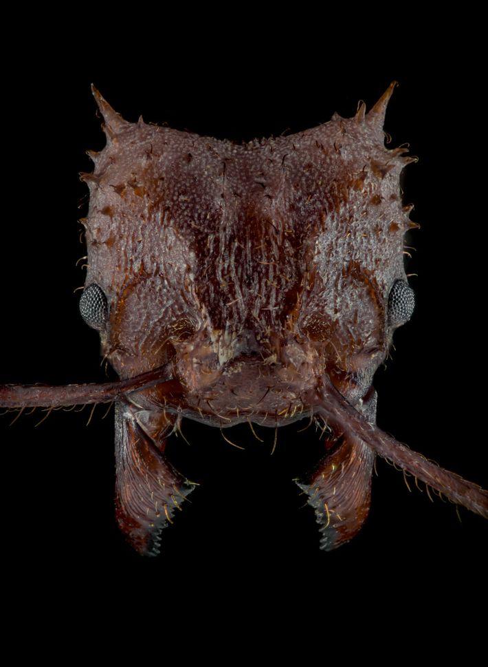 Le corps de la fourmi champignonniste Acromyrmex echinatior est recouvert d'une couche biominérale qui lui sert d'armure.