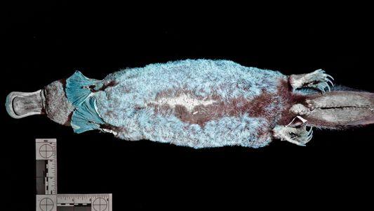Découverte : l'ornithorynque serait l'un des rares mammifères fluorescents