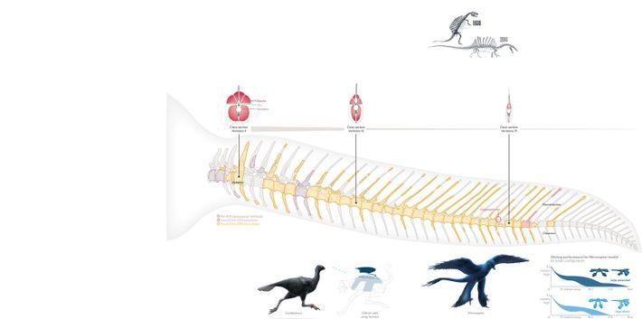 Avant 2014, les paléontologues ne disposaient que de fragments de queue de Spinosaurus et la croyaient ...