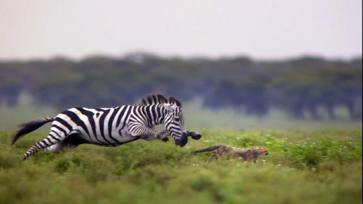 Des guépards chassés par des zèbres
