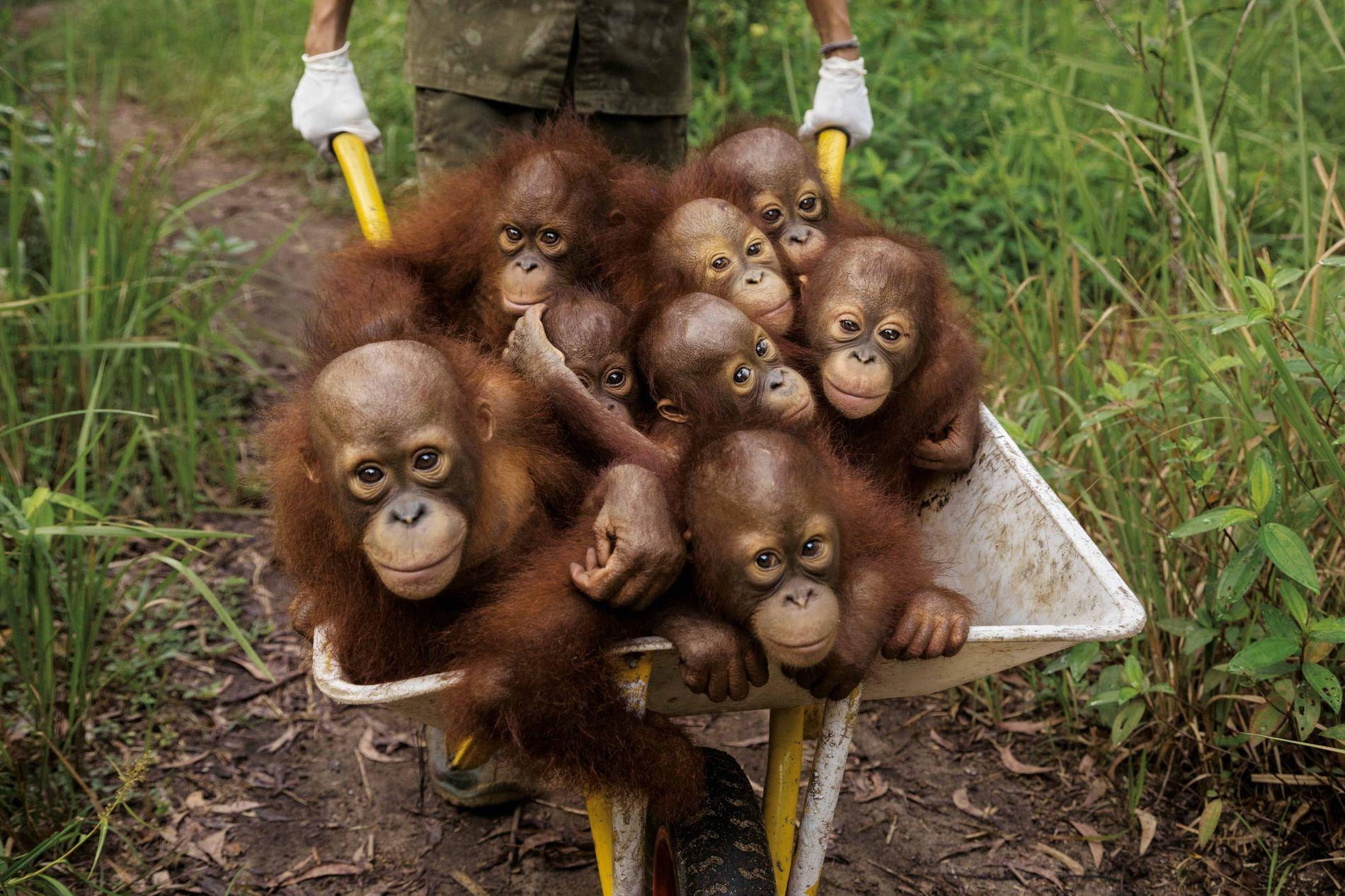Au marché noir des animaux de compagnie, le bébé orang-outan vaut cher. Comme sa maman est ...
