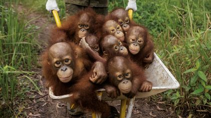 Indonésie, les derniers orangs-outans