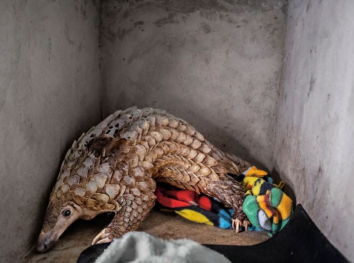 Mammifère le plus braconné au monde, le pangolin jouit désormais de protections supplémentaires en vertu de ...