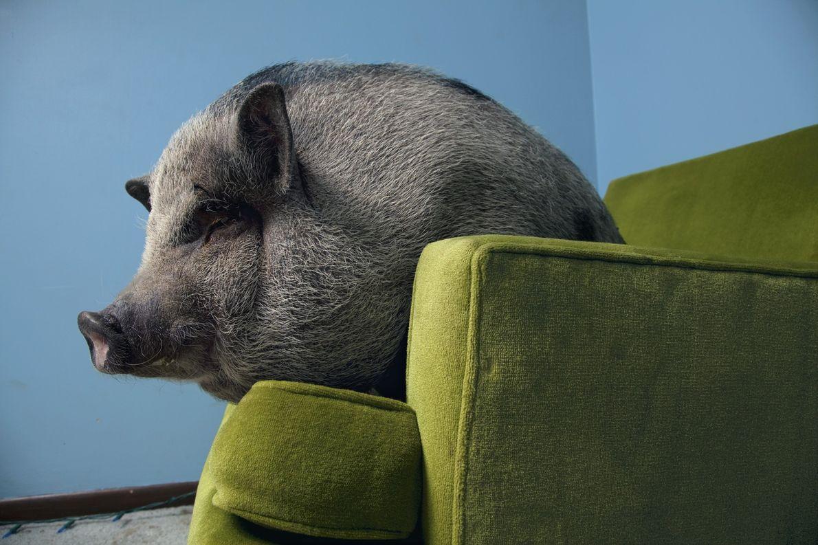 Comme tous les cochons, le cochon vietnamien est un animal hautement social. Des études ont montré …