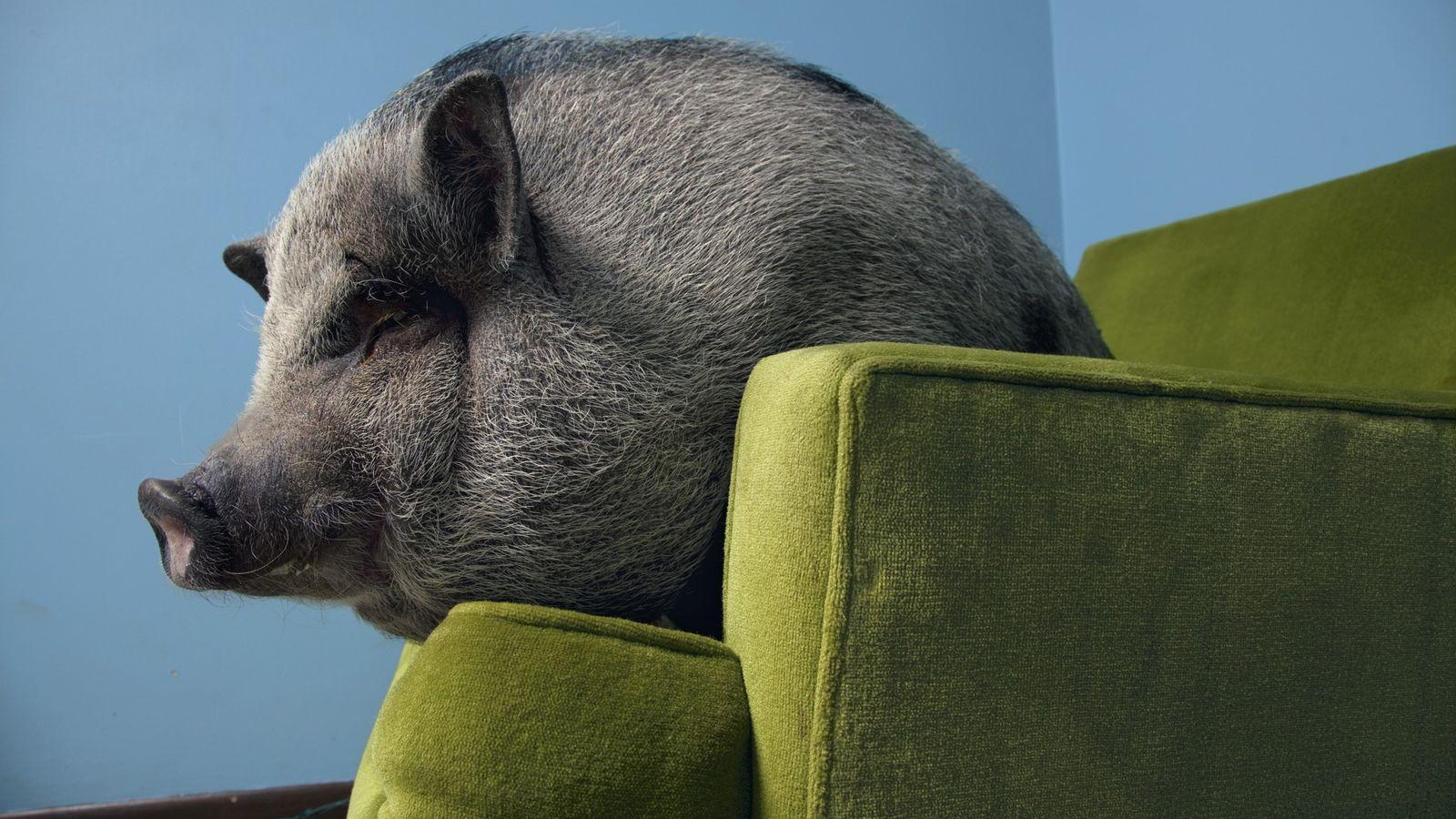 Comme tous les cochons, le cochon vietnamien est un animal hautement social. Des études ont montré ...