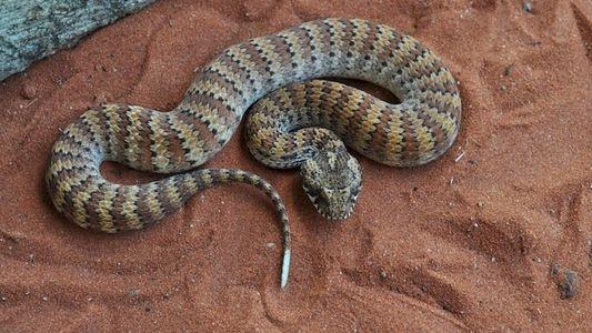 La vipère de la mort, l'un des serpent les plus venimeux au monde