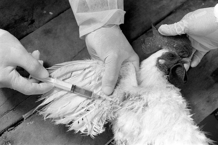 Des chercheurs prélèvent un échantillon sanguin sur un poulet dans le cadre d'un test de grippe ...