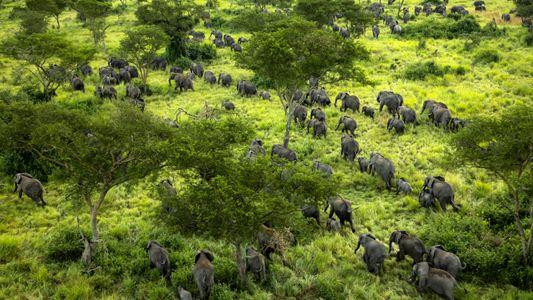 Les éléphants font leur grand retour au Parc National des Virunga