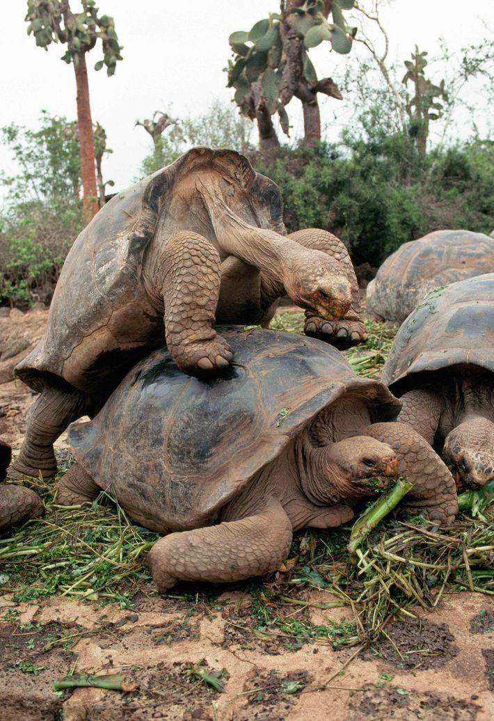 Des tortues géantes s'accouplent à la station Charles-Darwin.