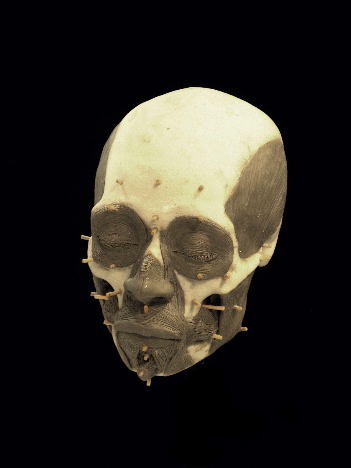 Des muscles faciaux ont été modelés sur le crâne avec de l'argile.