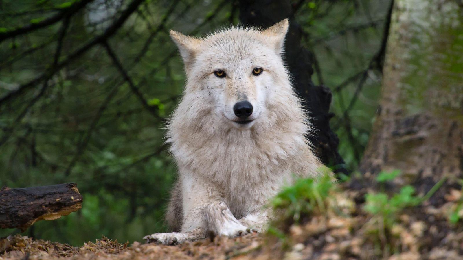 Alors que les loups ont été réintroduits à travers l'Occident, le débatfait rage sur la façon ...