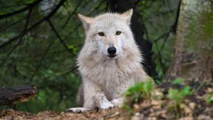 L'abattage controversé des loups continue dans l'État de Washington