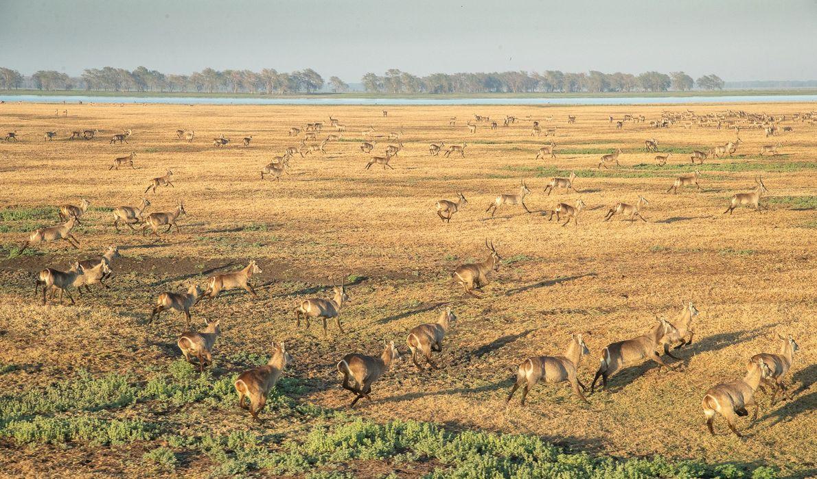 Preuve de l'excellente qualité de son habitat, Gorongosa abrite aujourd'hui plus de 55 000 cobes à ...