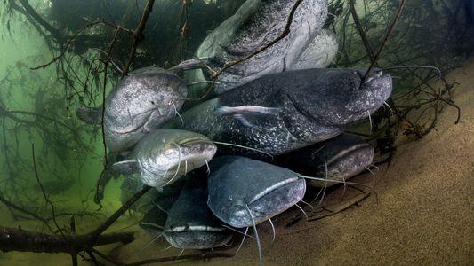 La menace du silure plane sur les écosystèmes d'eau douce européens
