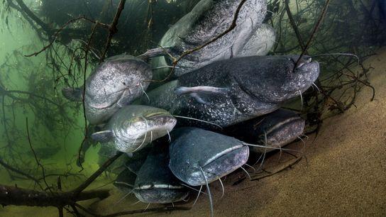 Le silure glane, une espèce indigène en Europe de l'Est, peut mesurer jusqu'à 3 mètres de long.