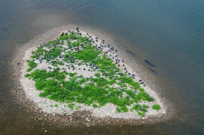 Des silures glanes encerclent un îlot dans le Tarn et s'apprêtent à attraper des pigeons inconscients ...