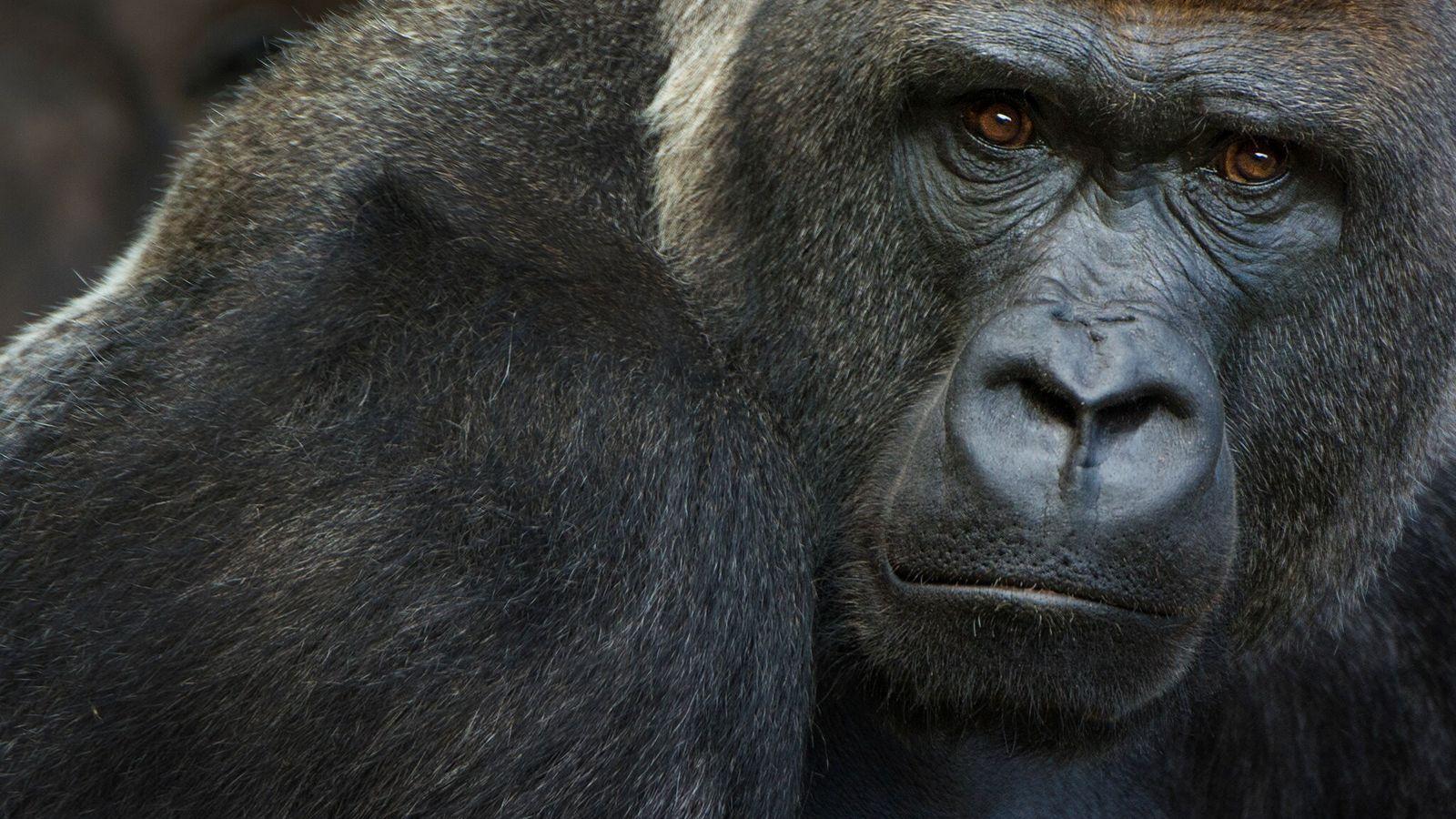 Les gorilles des plaines de l'ouest en danger critique d'extinction sont connus pour être sensibles au ...